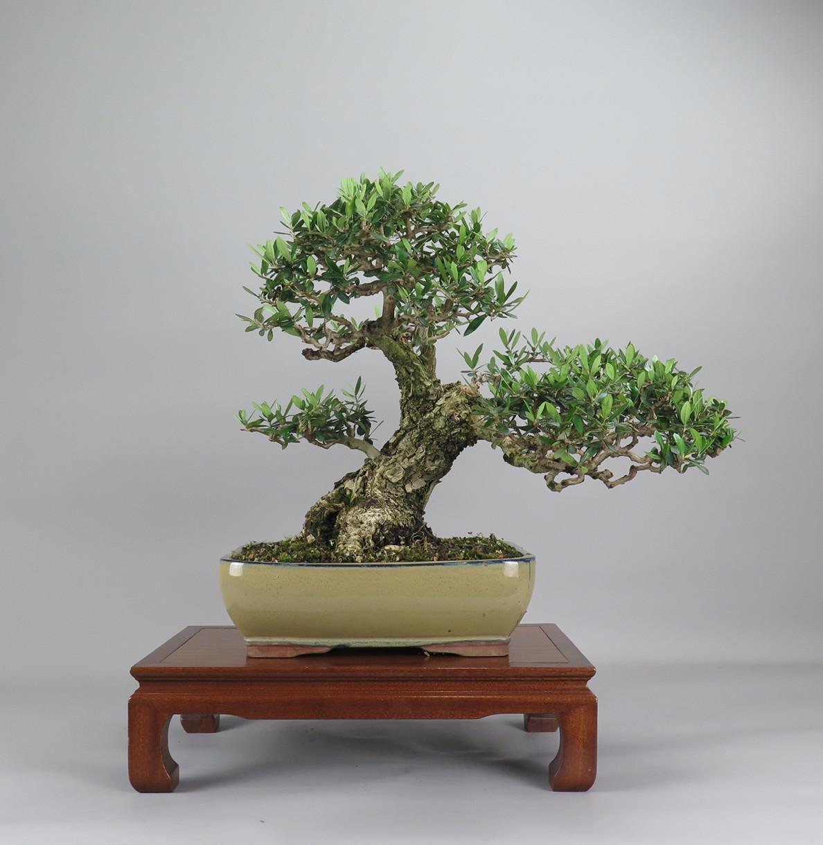 Bonsa de olivo, frente