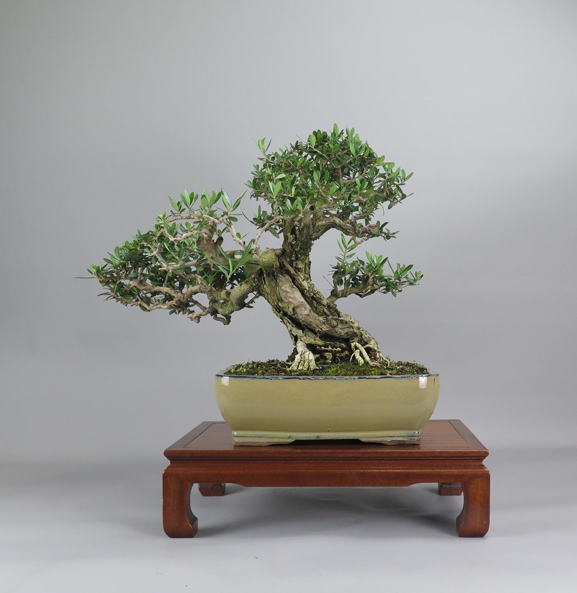 bonsa de olivo, espalda