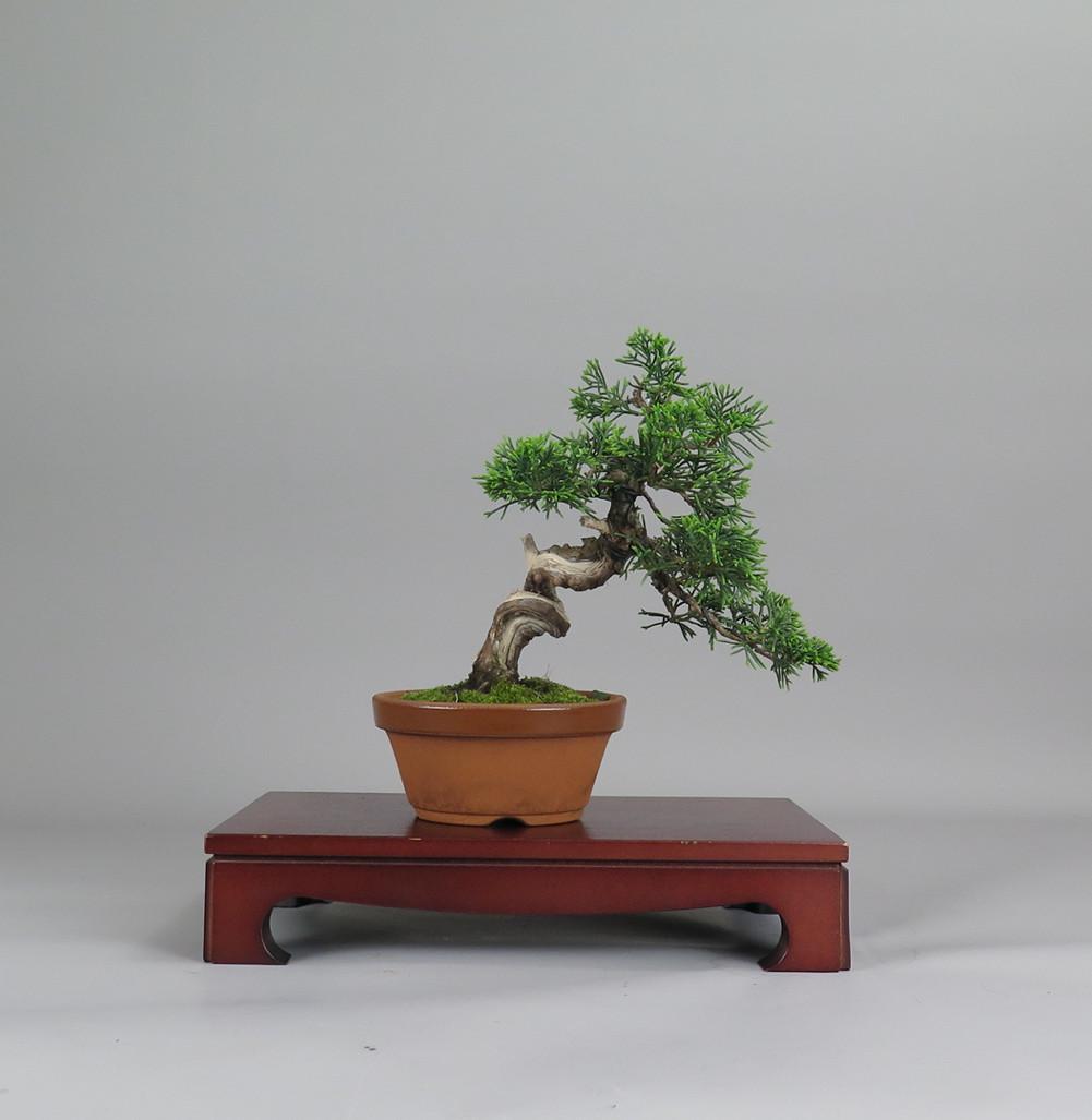 bonsai de juníperus, espalda