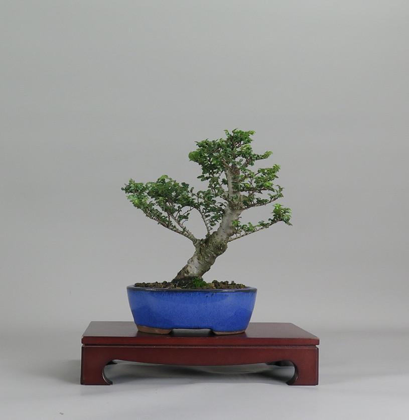 Ulmus parviflora hokkaido, frente.
