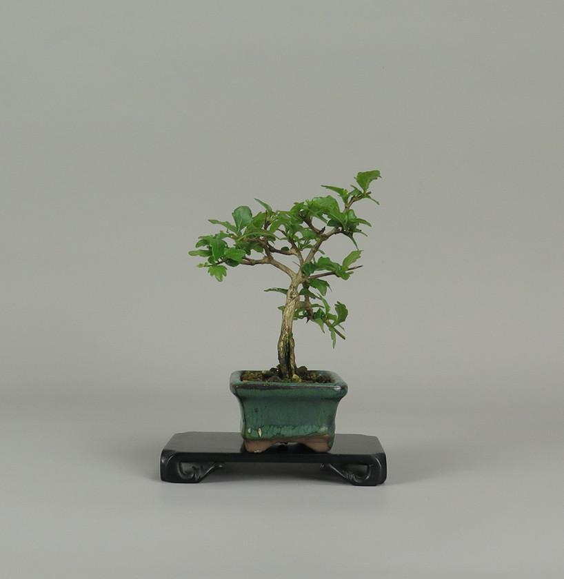 Bonsai de Nioi kaede, lateral derecho