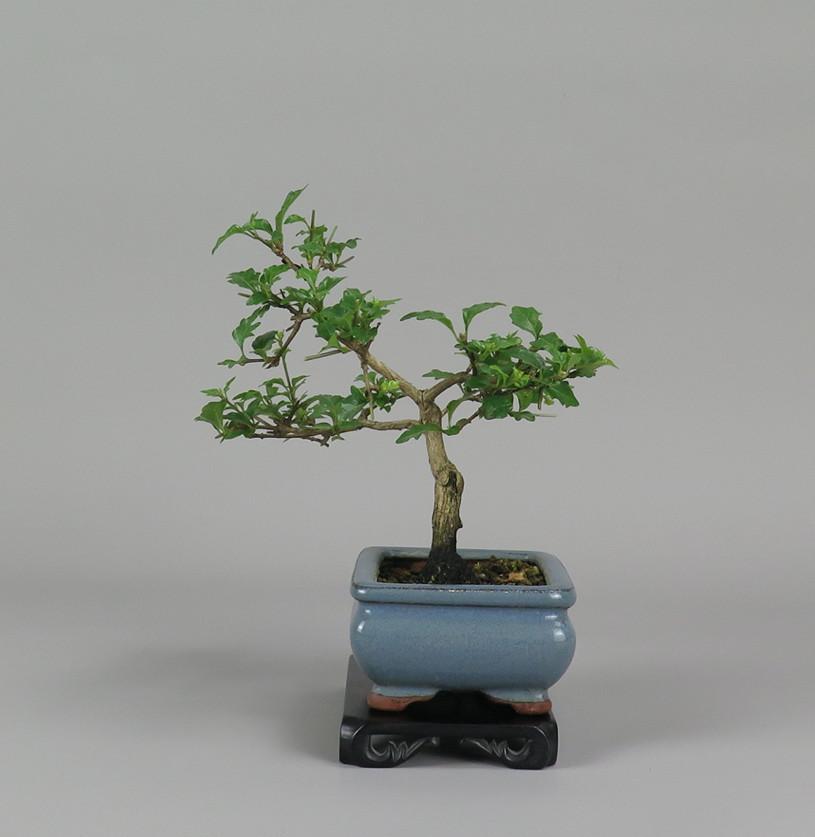 Bonsai de Nioi kaede, lateral izquierdo