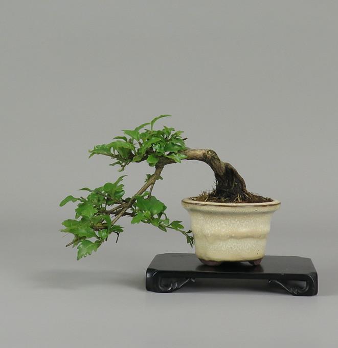 Bonsai de Nioi kaede, frente