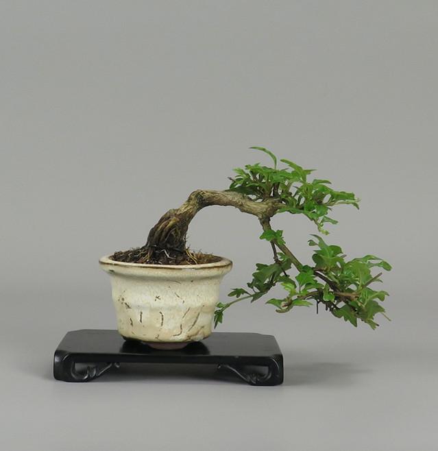 Bonsai de Nioi kaede, Espalda