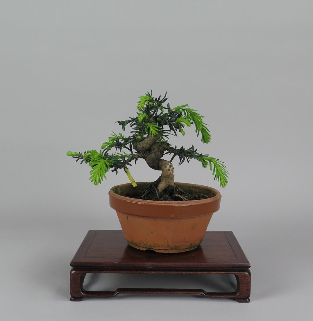 Bonsai de tejo, frente