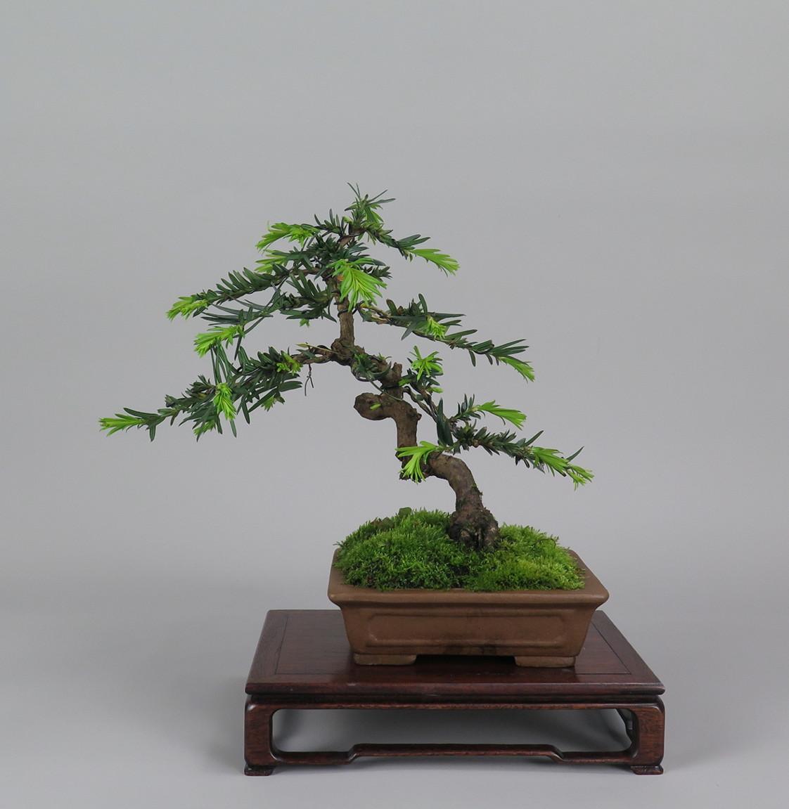 Bonsai de Tejo , espalda