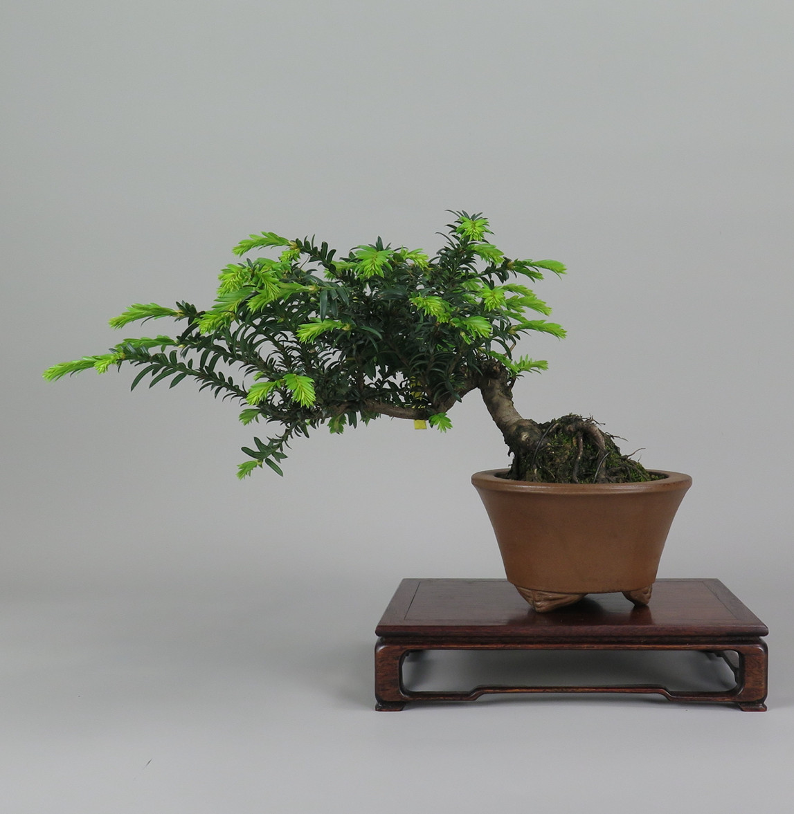 Bonsai de Tejo , Frente