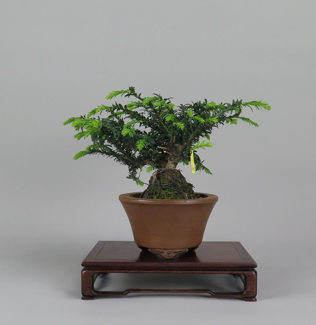 Bonsai de Tejo , lateral izquierdo