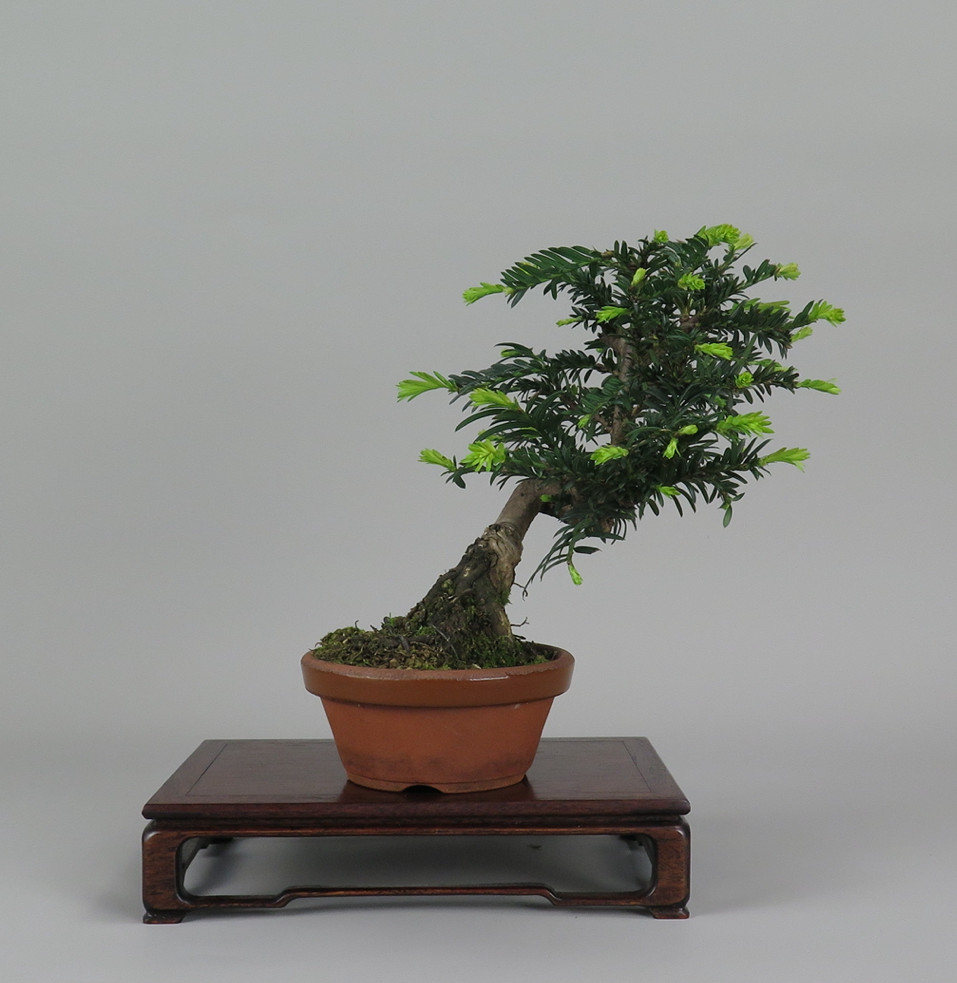 Bonsai de Tejo , lateral derecho