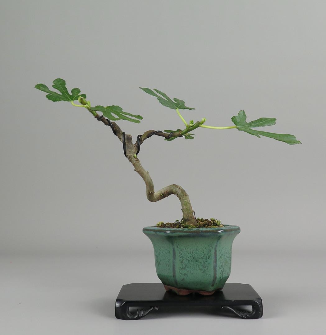 bonsai de higuera
