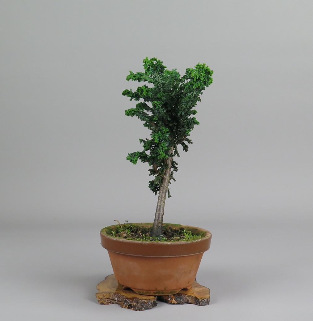 Bonsai sekka hinoki