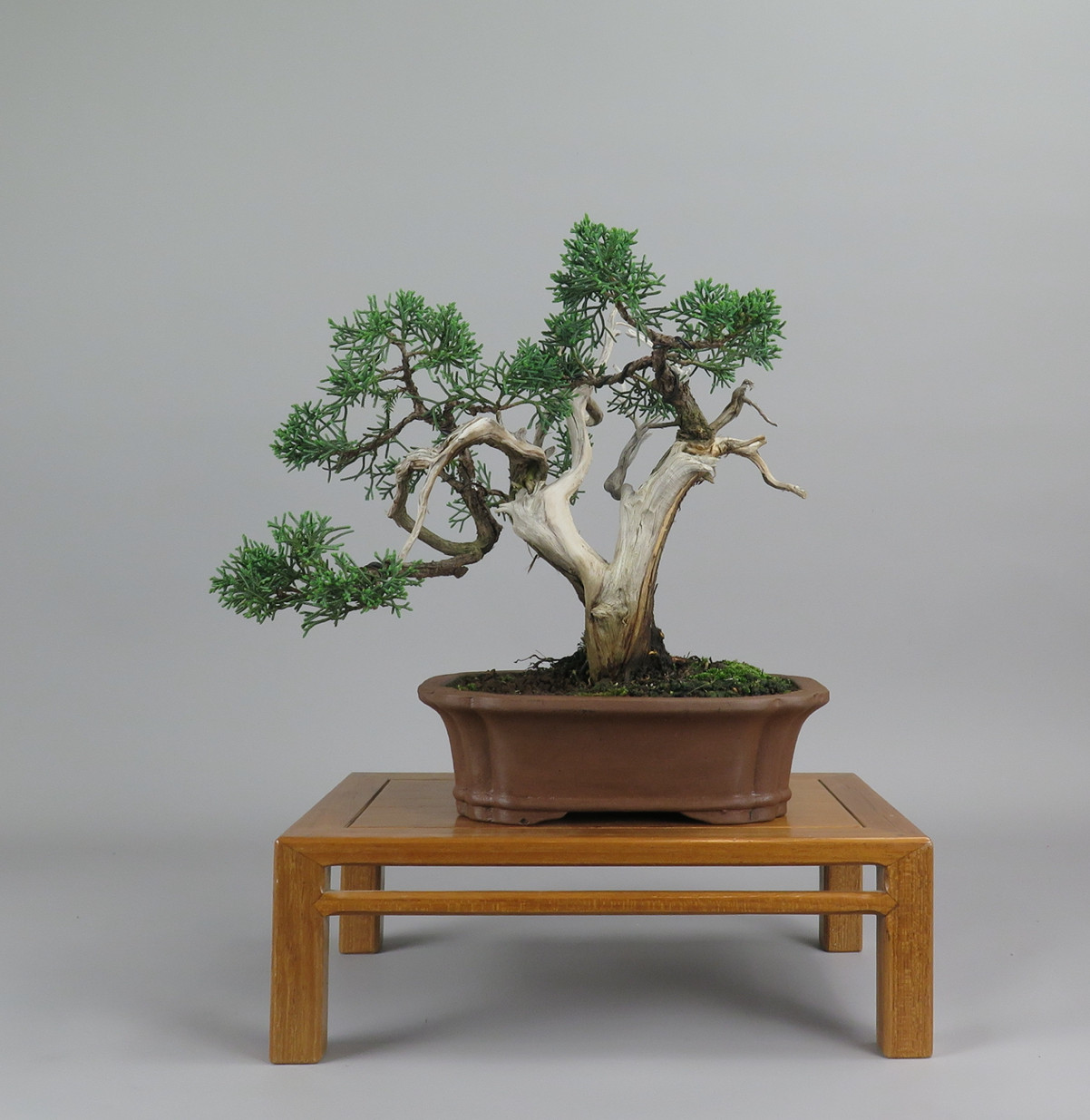 Bonsai de juníperus, frente