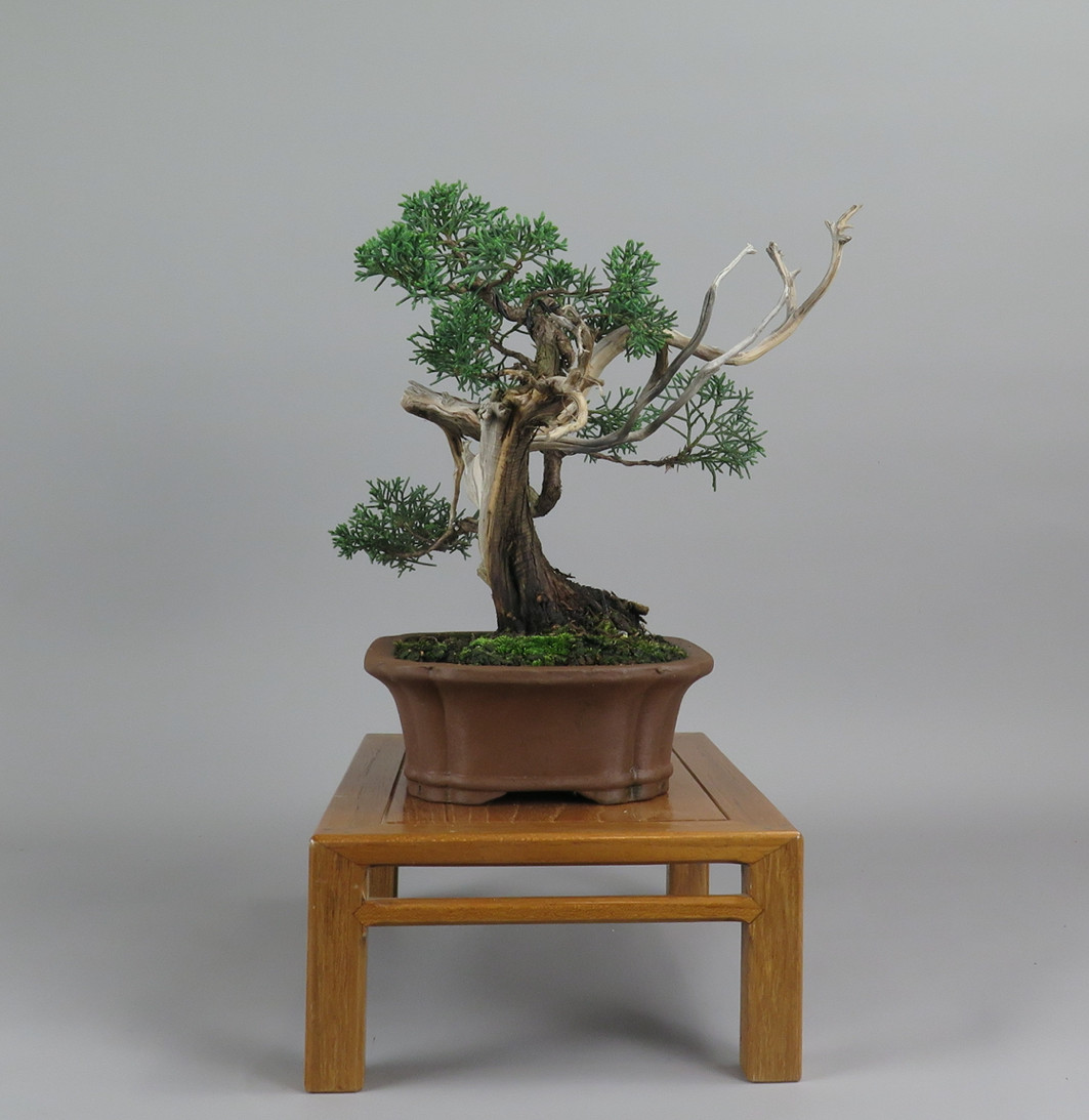 Bonsai de juníperus, lateral izquierdo