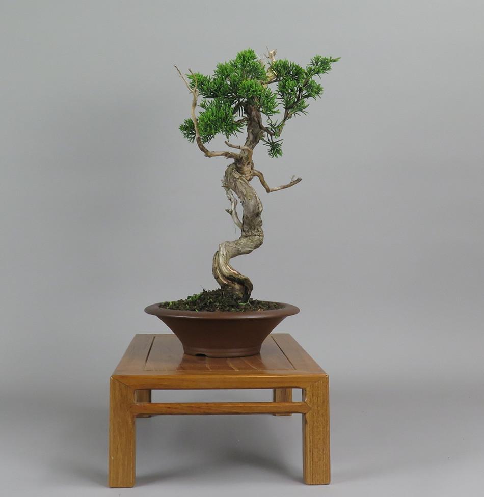 Bonsai de juníperus lateral derecho