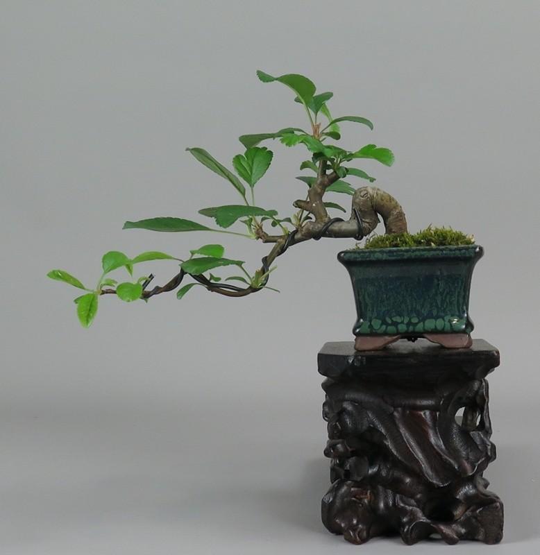 Bonsai de manzano, frente
