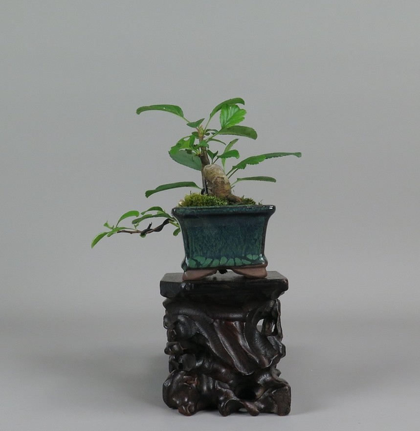 Bonsai de manzano, lateral derecho
