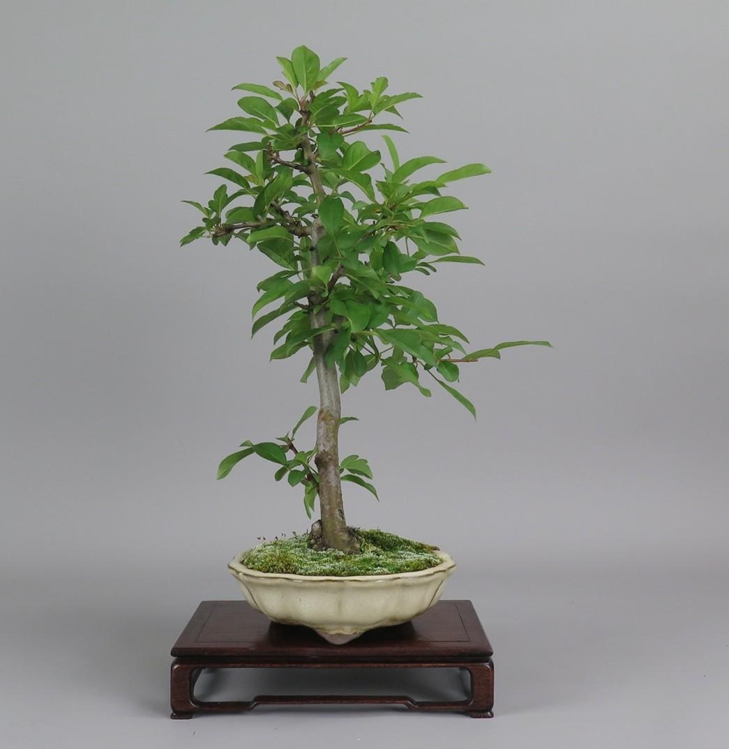 Bonsai de manzano, lateral izquierdo