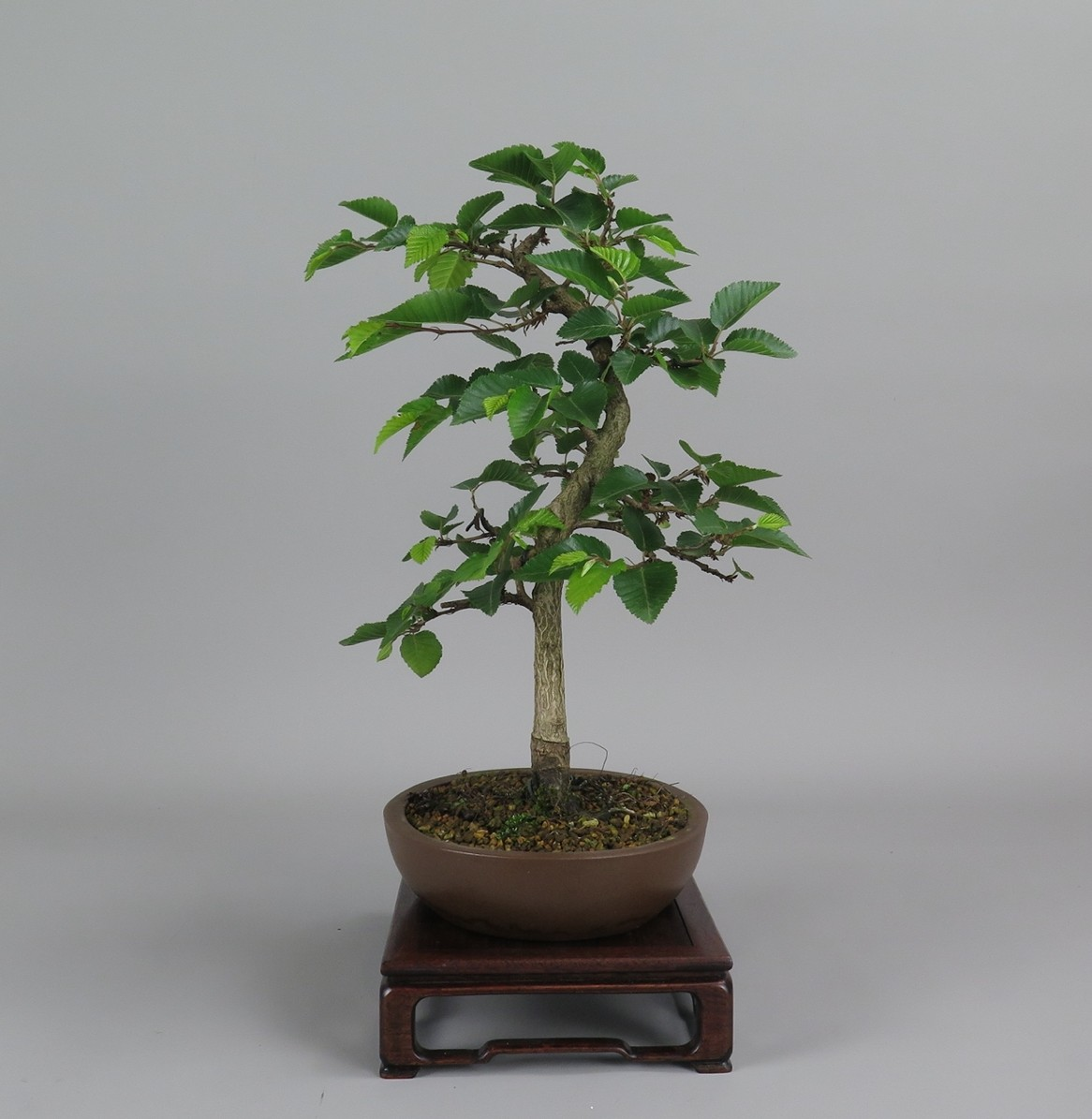 bonsai de carpe, lateral izquierdo