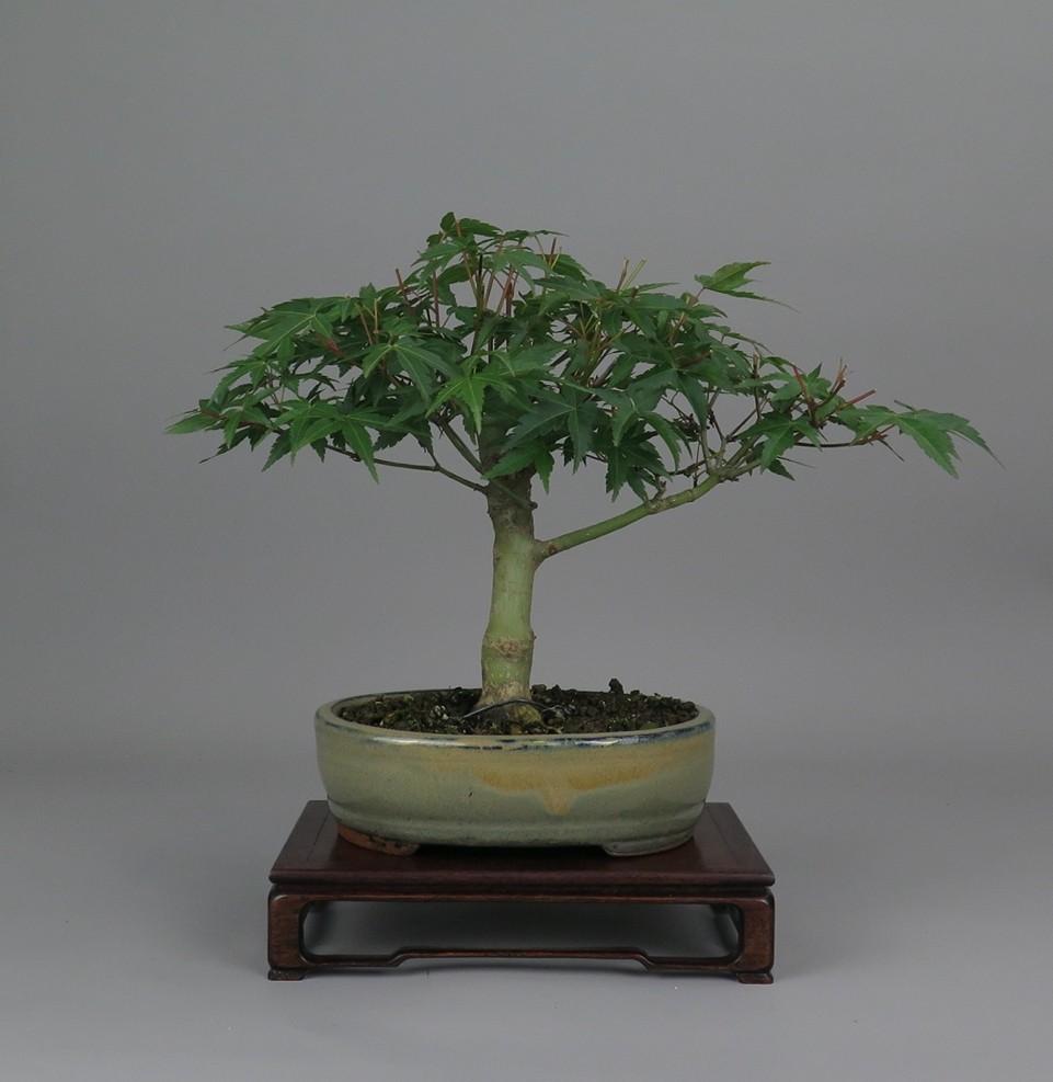 bonsai de arce