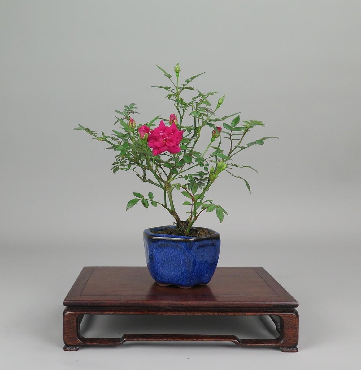 bonsai de rosa