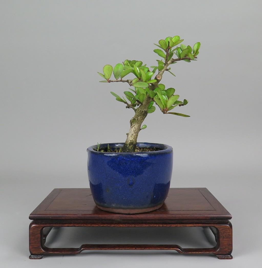 Bonsai de Maithenus, lateral derecho