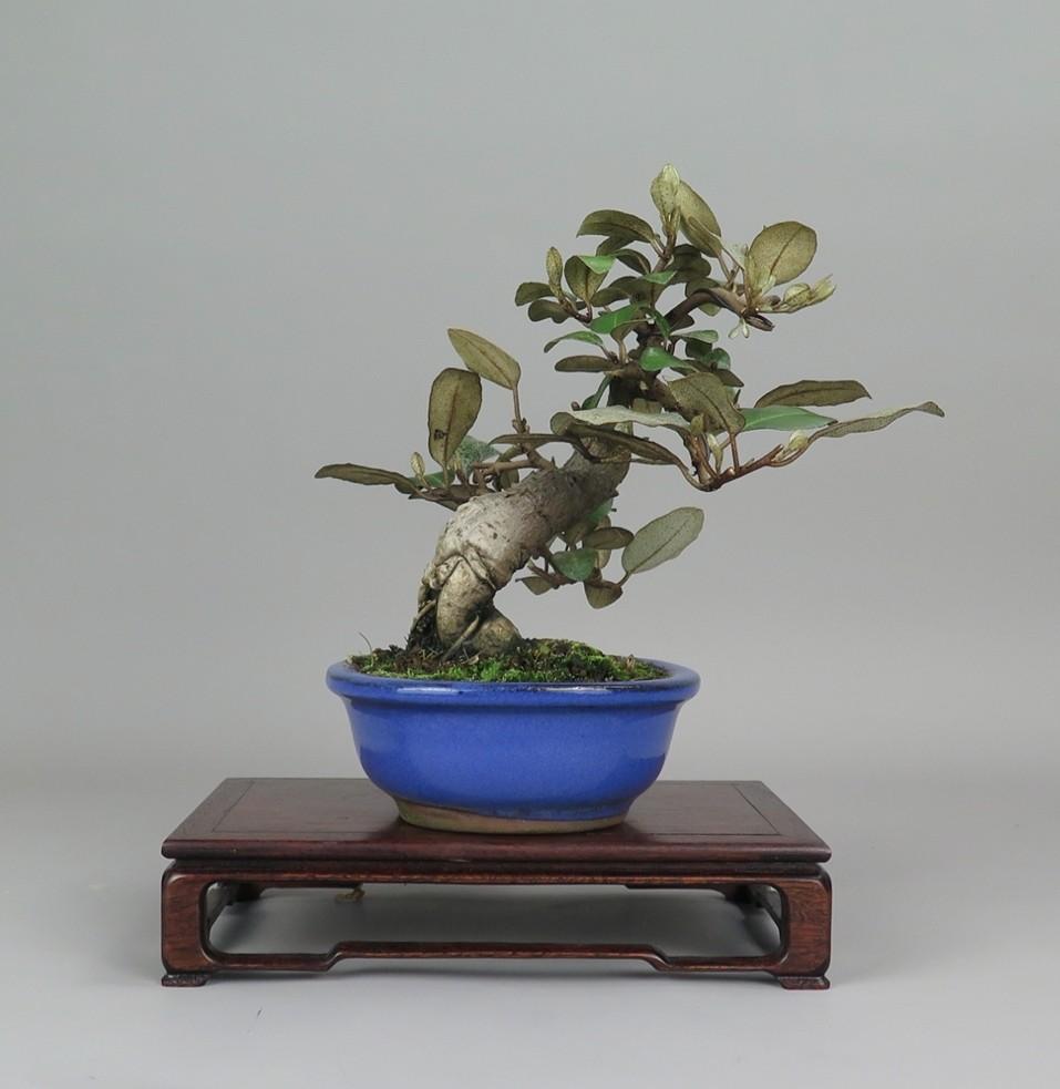 Bonsai de eleagno, lateral derecho