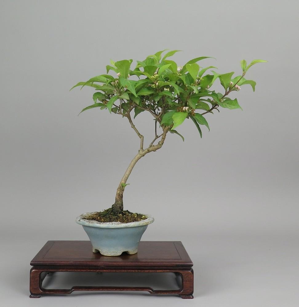 Bonsai de callicarpa, frente