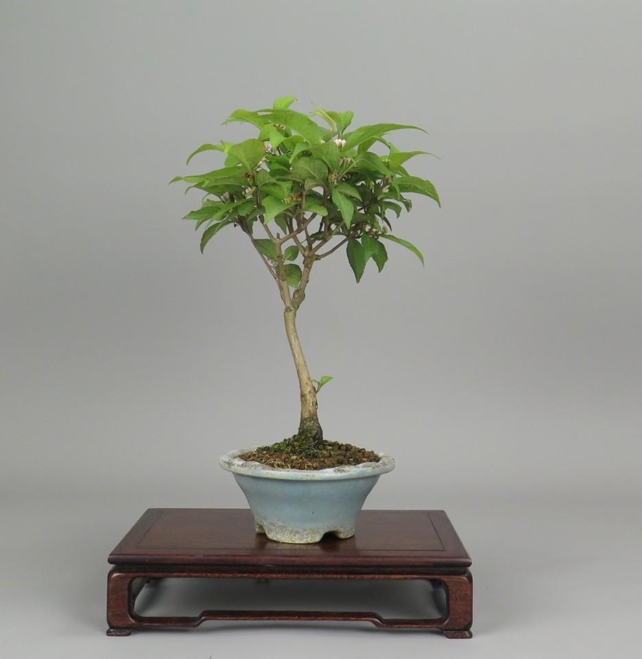 Bonsai de ccallicarpa, lateral