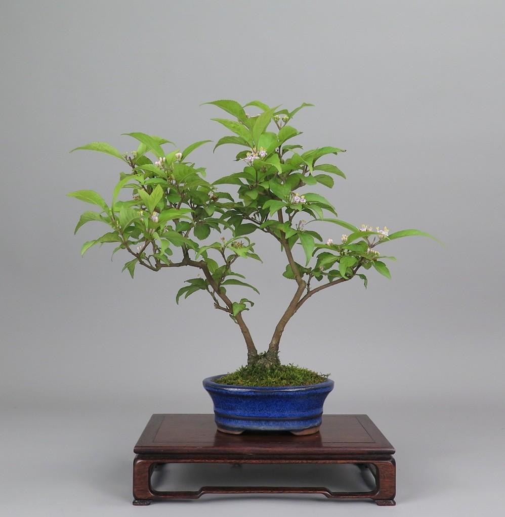 Bonsai de ccallicarpa, frente