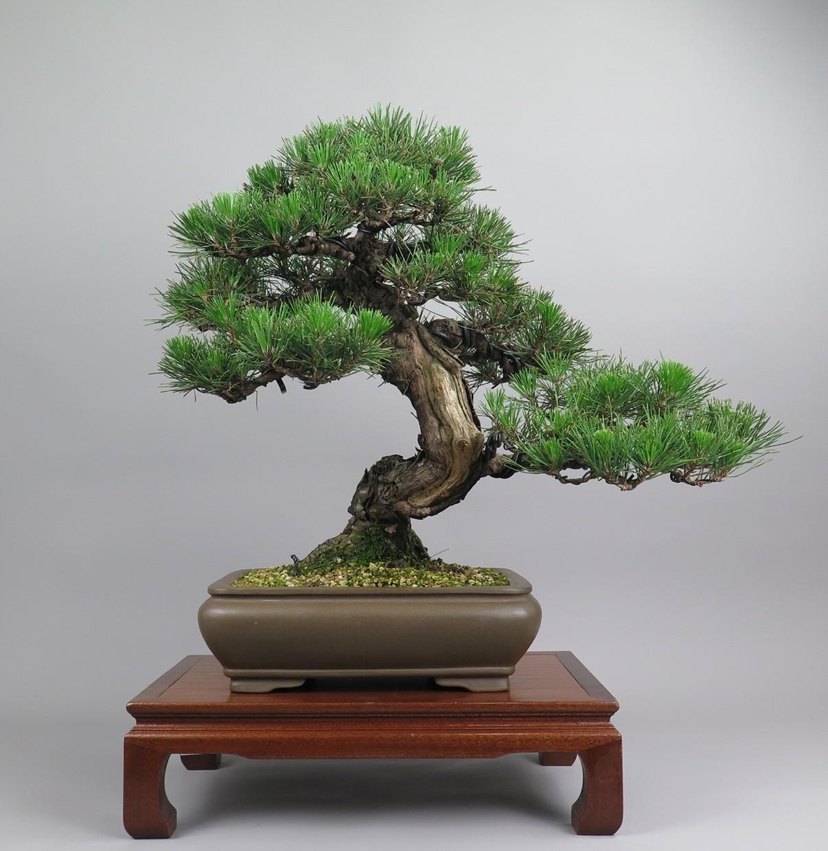 Bonsai de Pinus tumbergii, frente