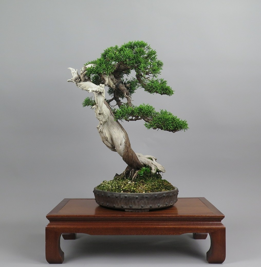 Bonsai juniperus chinensis, frente