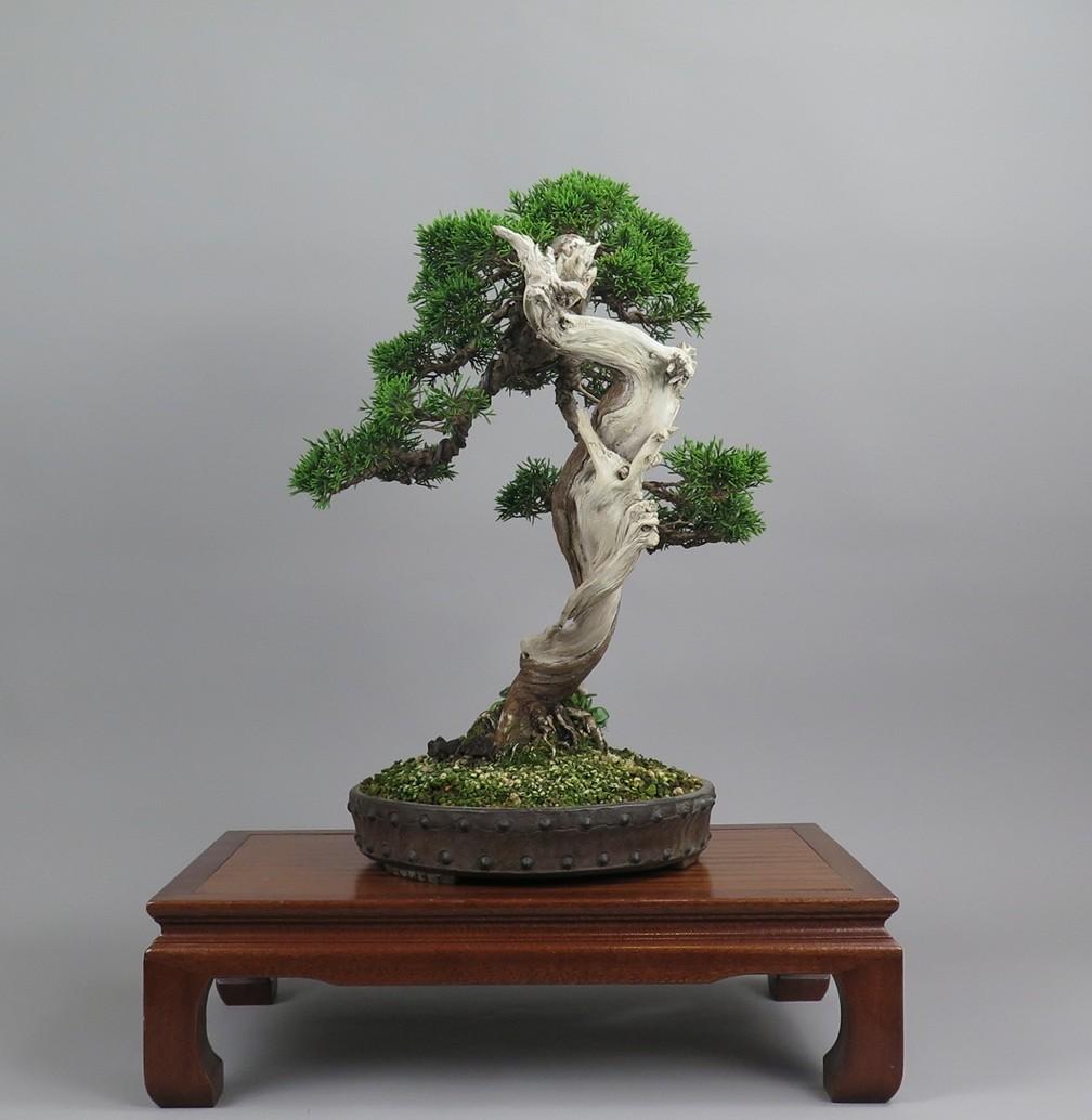 Bonsai juniperus, lateral izquierdo
