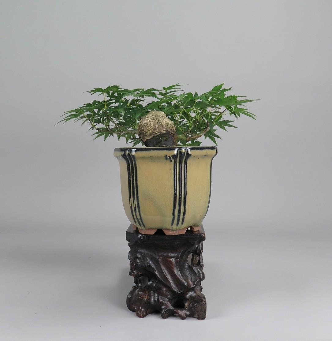 Bonsai de acer
