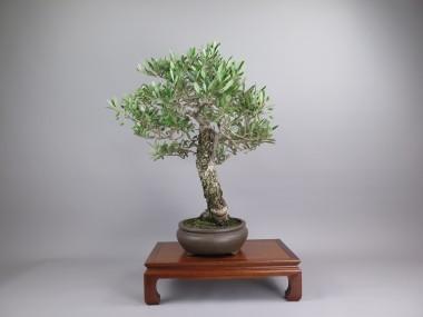Bonsai de olivo, lateral