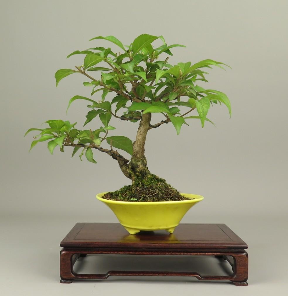 Bonsai de Callicarpa
