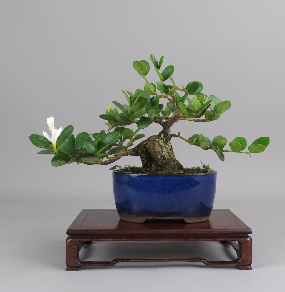 Bonsai de Carissa