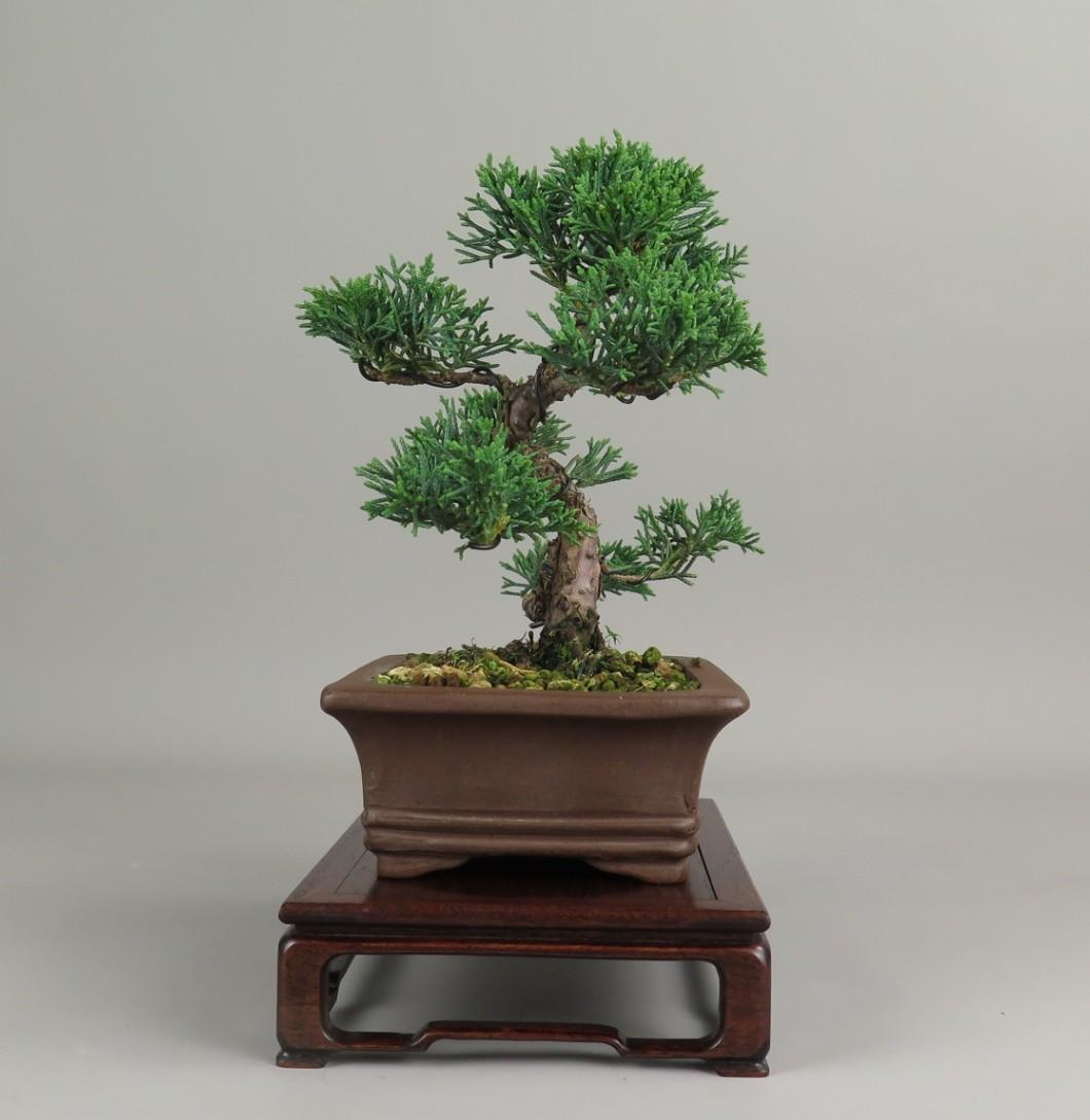 Bonsai de juniperus chinensis, lateral derecho