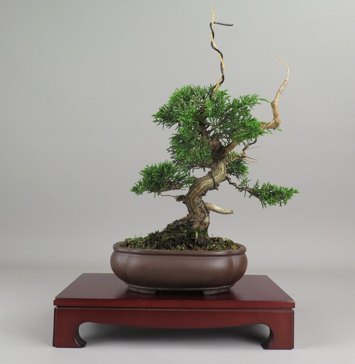 Bonsai de juniperus chinensis, frente