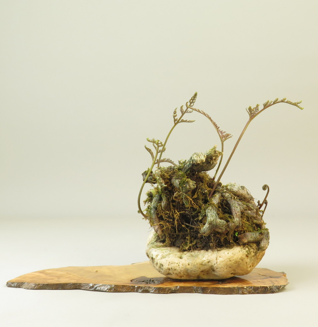 Kusamono de Dawallia bullata