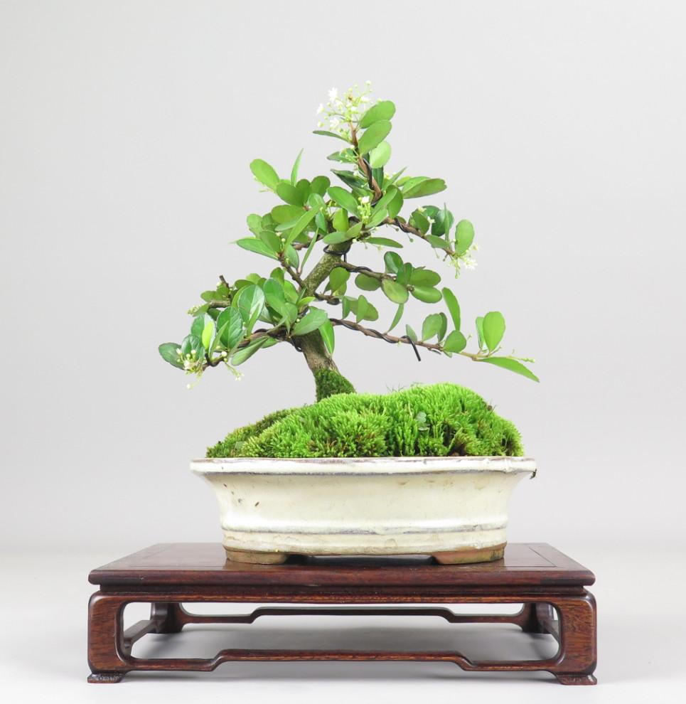 Bonsai de Maithenus