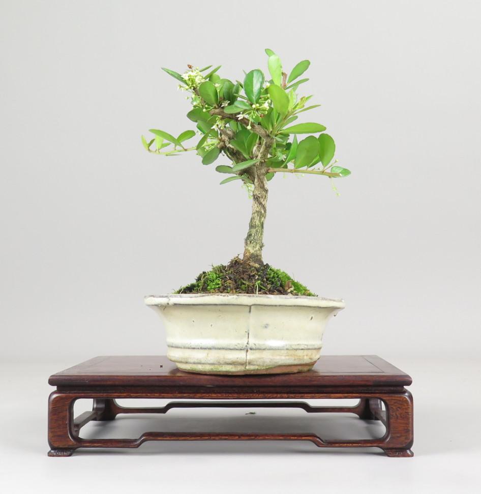 Maithenus diversifolia