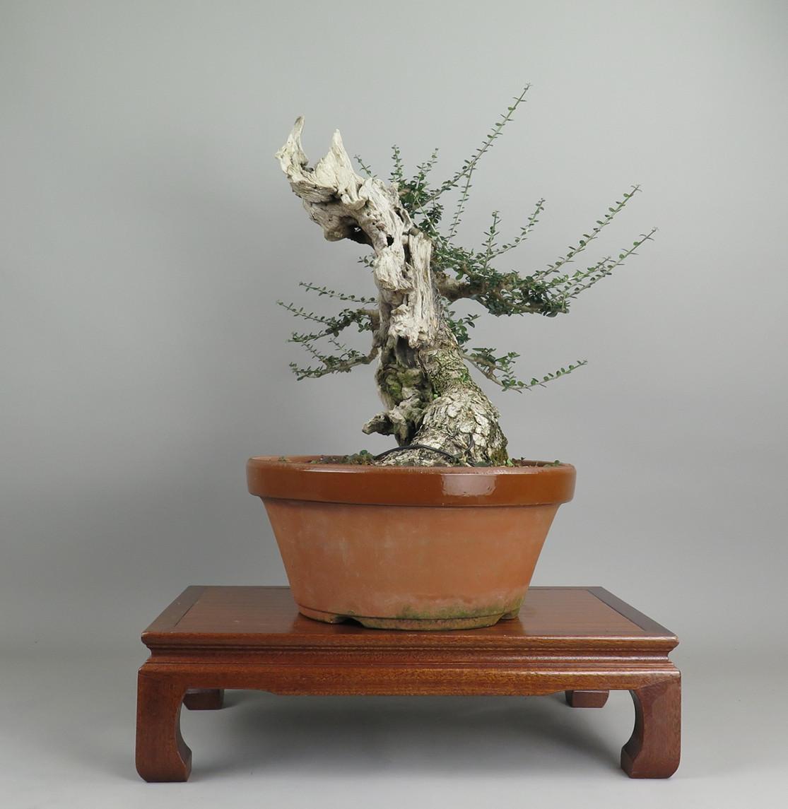 Bonsai de olivo, lateral izquierdo