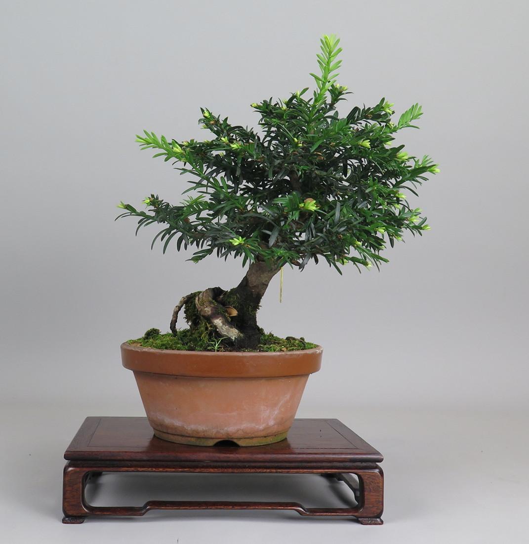 Bonsai de tejo, lateral derecho