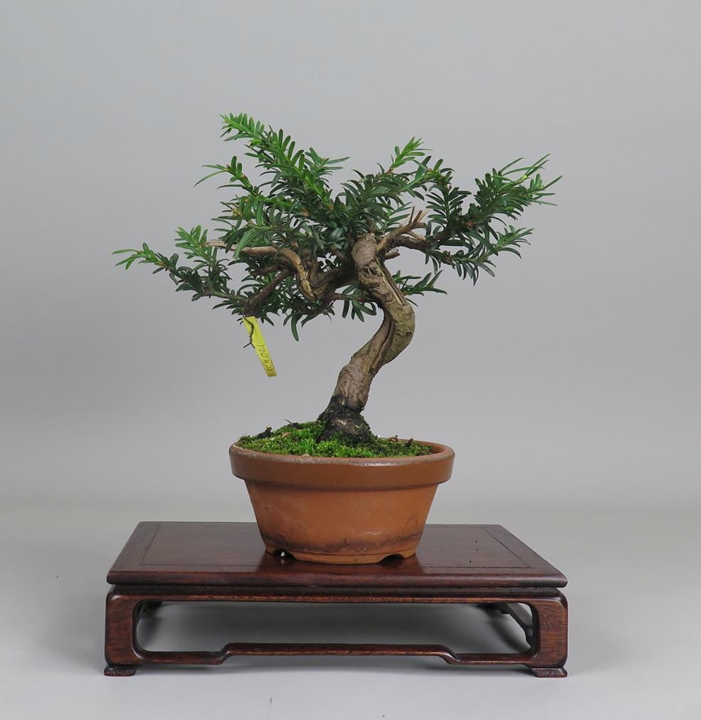 Bonsai de tejo, lateral izquierdo