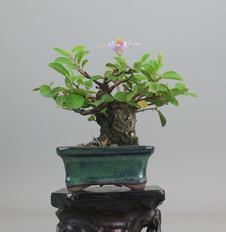 Bonsai de Grewia