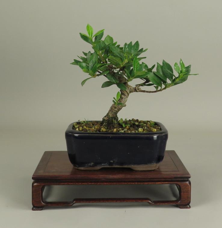 Bonsai de Gardenia