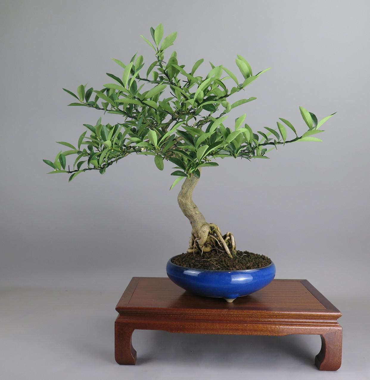 Bonsai de Fortunella