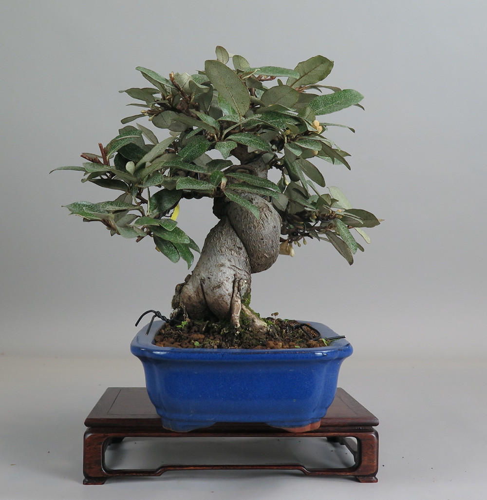 Bonsai de eleano, lateral izquierdo