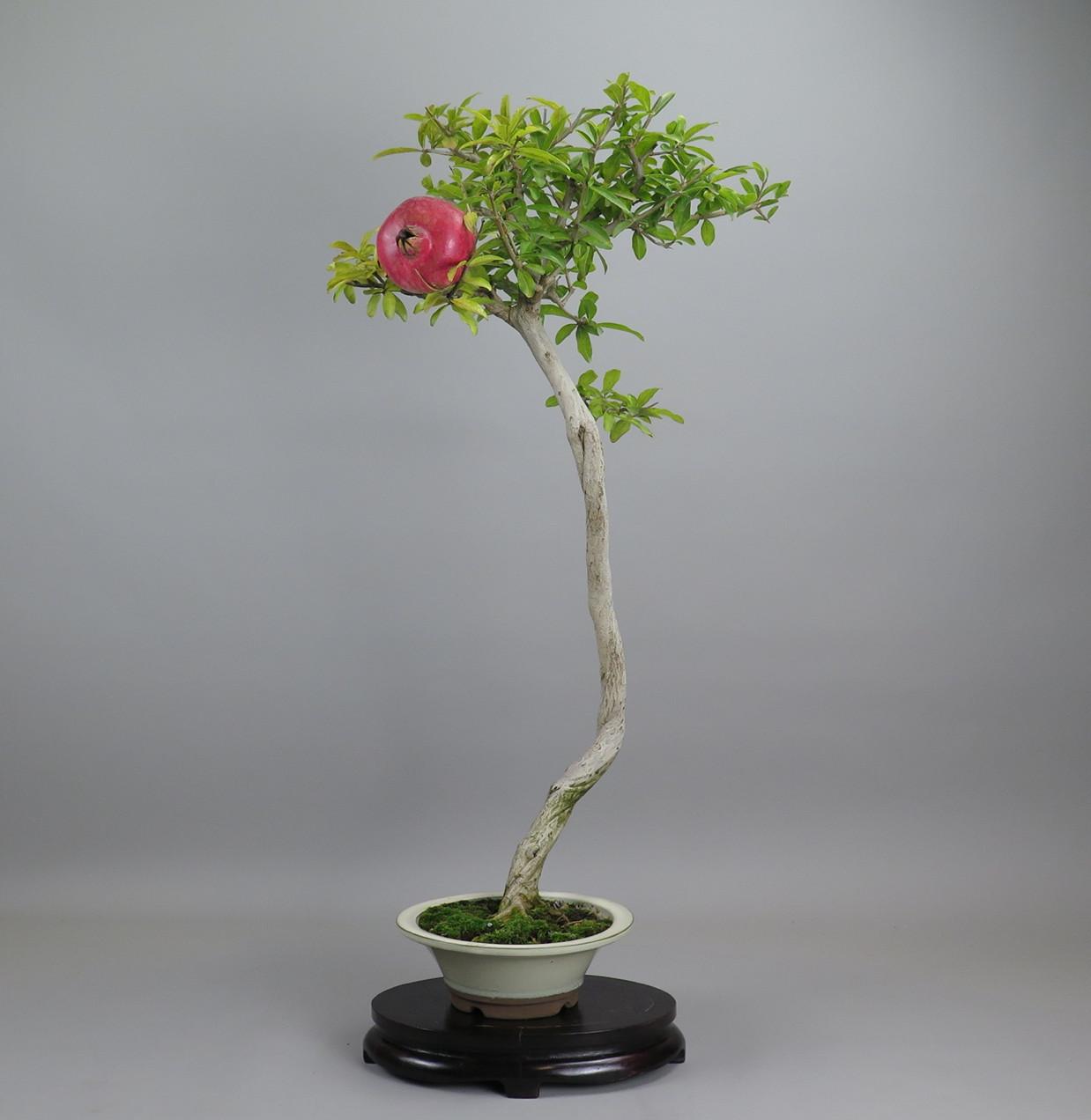 Bonsai de Granado nejikan